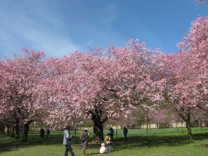 Kirschblüte im Schwetzinger Schlosspark